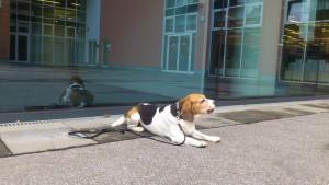 City Beagle