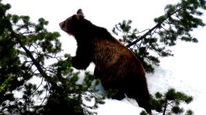 Der letzte Ötscherbär